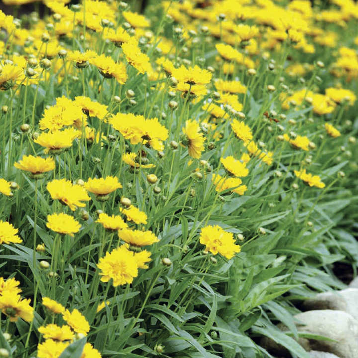 Coreopsis Plant - Early Sunrise
