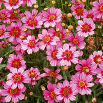Coreopsis Plant - Hardy Jewel Garnet