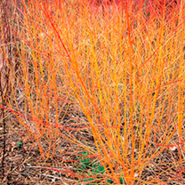 Cornus Plant - Midwinter Fire