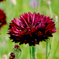 Cornflower Seeds - Black Ball