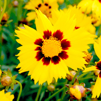 Coreopsis Plants - Sunkiss, Ruby Frost