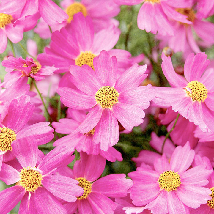 Coreopsis Plant - Pink Lady