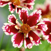 Image of Coreopsis Plant - Ruby Frost