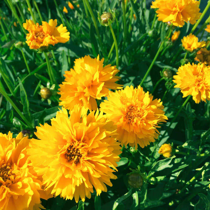 Coreopsis Plants - Early Sunrise