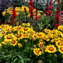 Coreopsis Plants - Sunkiss