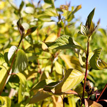 Cornus alba Plant - Aurea