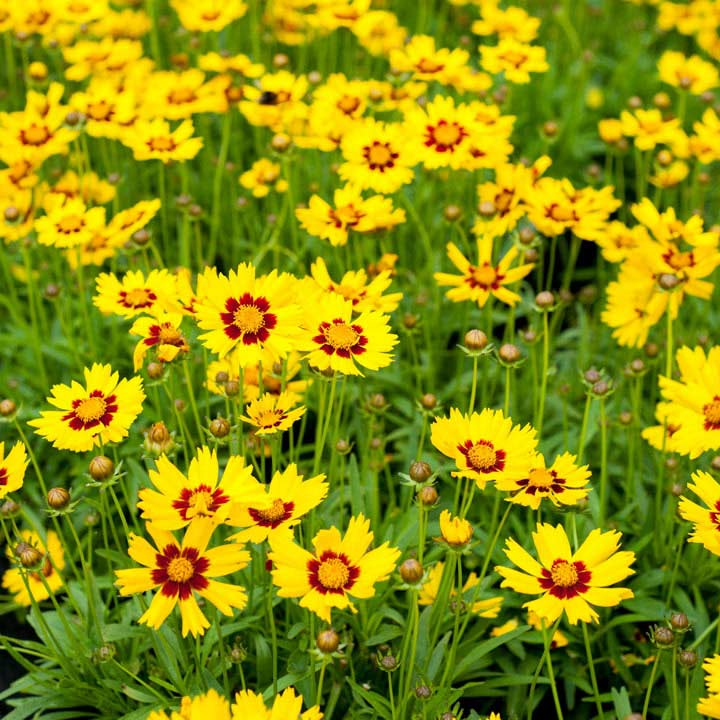 Coreopsis Plant - Sunkiss