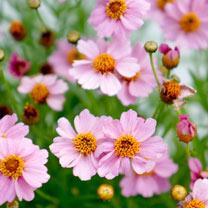 Coreopsis Plants - Twinklebells Pink