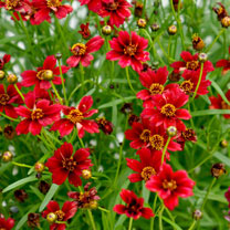 Coreopsis Plant - Twinklebells Red