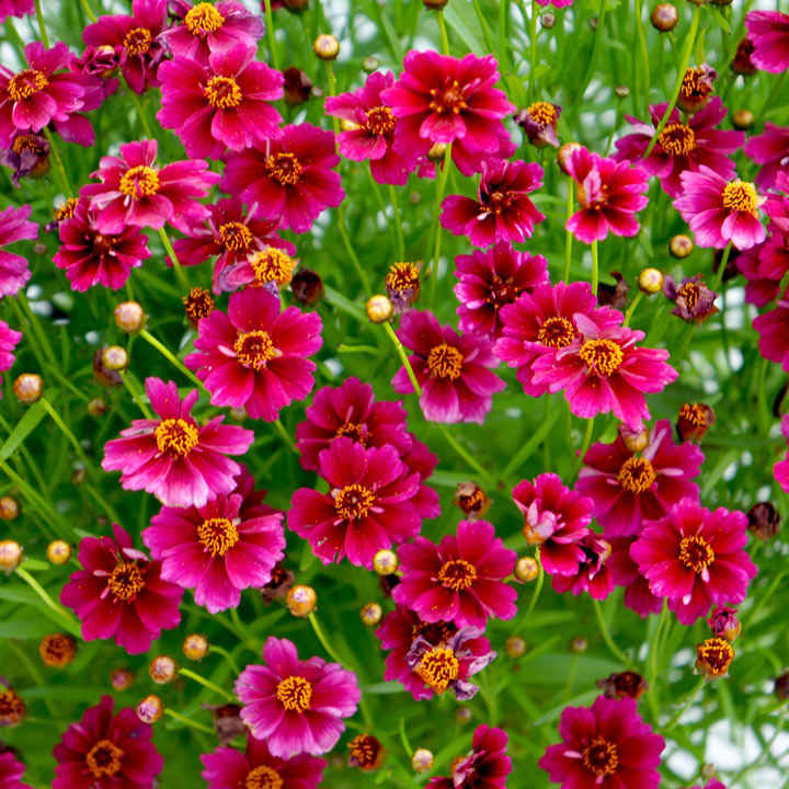 Coreopsis Plant - Twinklebells Purple