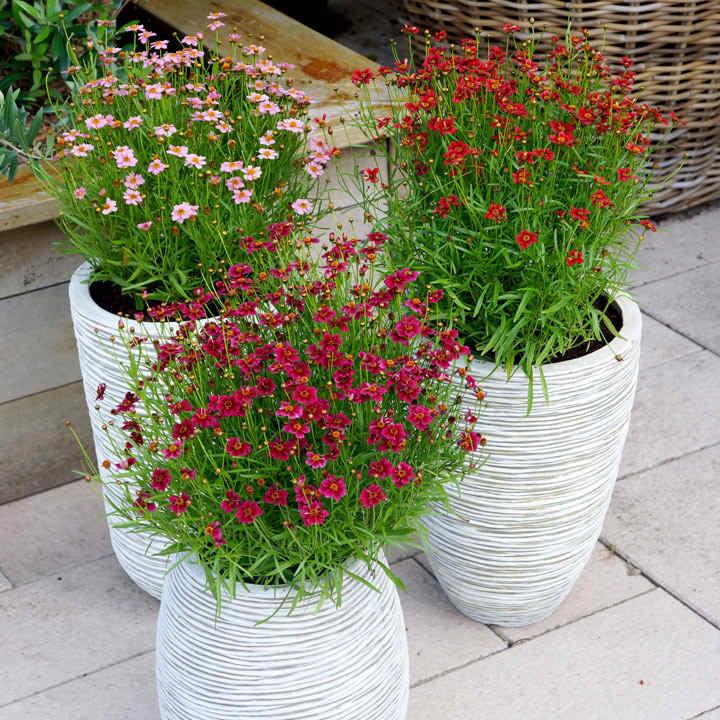 2 Litre Bedding Plants - Lucky Dip