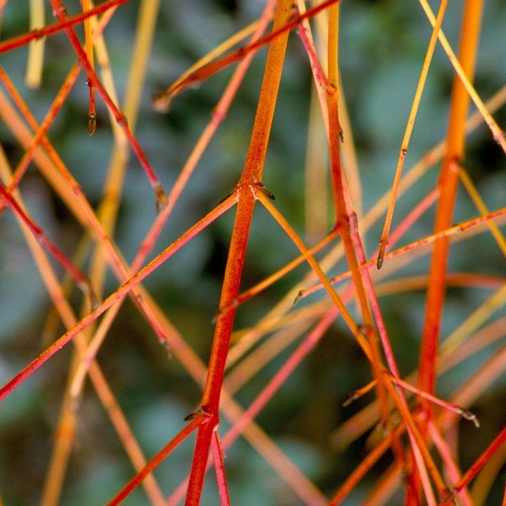 Cornus sanguinea Plant - 'Anny's Winter Orange'