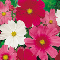 The real space filler. Large, bushy plants which become smothered in bloom in the height of summer. Large flowers, which like other cosmos are a great