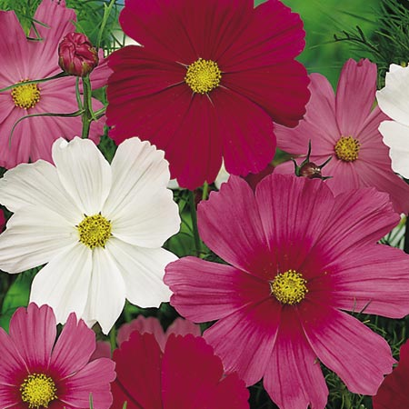 Cosmos Seeds - Early Flowering Sensation Mixed