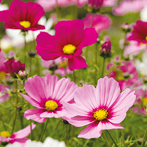 Cosmos Plants - Sonata Mixed