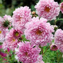 Cosmos Seeds - Rose Bonbon