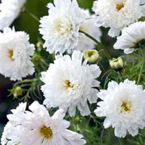Cosmos Plants - White Knight