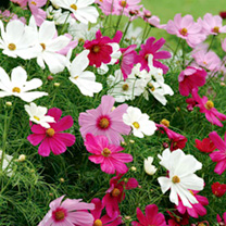 Cosmos Plants - Sonata Mix