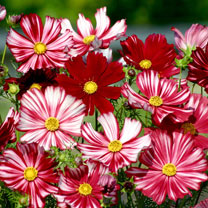 Eye-catching red and white striped flowers with large, ethereal blooms. 'Veloutte looks stunning when planted en-mass as a super-sized bedding plant.