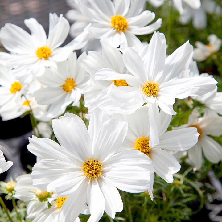 Cosmos F1 Apollo White All Flower Seeds Flower Seeds Flowers