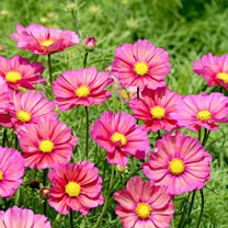 Make space in your gardens for a brand-new cosmos! Cosmos 'Xsenia has one-of-a-kind terracotta orange petals edged with rose pink. In full sun, the pe