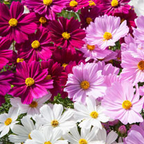 Image of Cosmos Plants - Apollo Mix