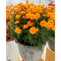 The vivid orange of the Cosmos Mandarin will have anyone excited for summer. It's a feast for the eyes, and also for butterflies who will happily poll
