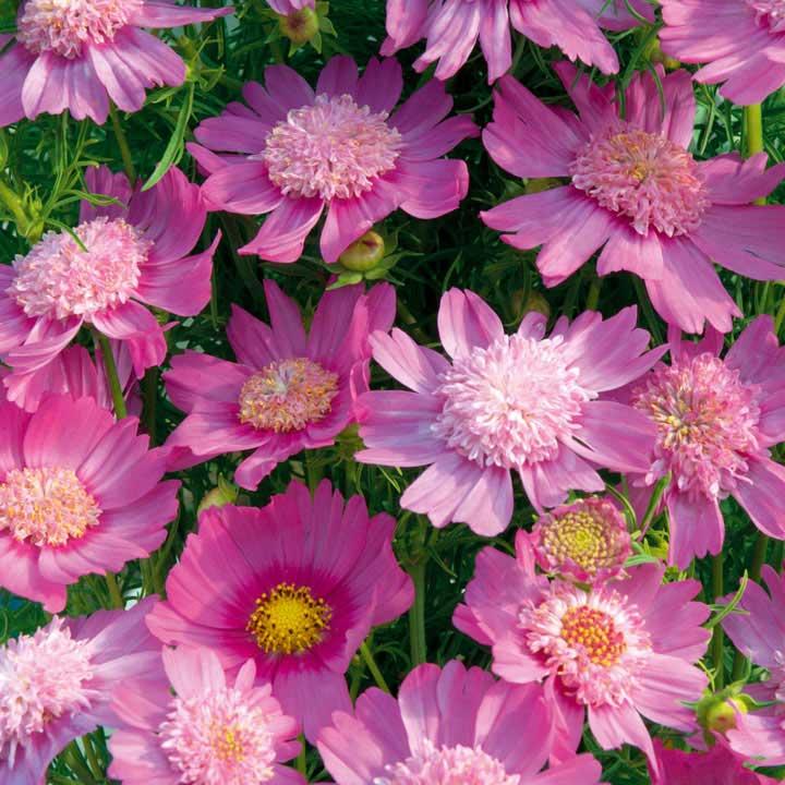 Cosmos Seeds - Pink Popsocks