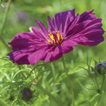 Cosmos Seeds - Fizzy Purple