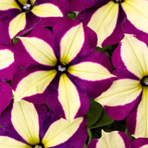 Crazytunia Plants - Frisky Purple