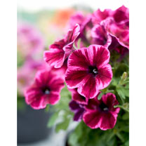 Crazytunia Plants - Collection