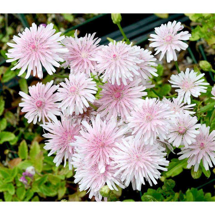 Crepis rubra Seeds - Pink