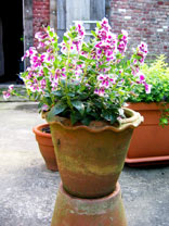 Cuphea Plant - Vienco Lavender