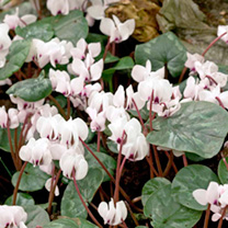 Cyclamen Bulbs - coum Album