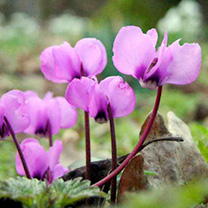 Image of Cyclamen Bulbs - Coum