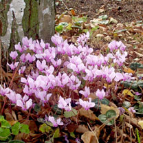 Image of Cyclamen hederifolium Plants