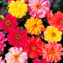 Compact habit and early flowering, producing a high proportion of double flowers in shades of apricot, salmon, orange, scarlet, crimson, bronze, yello