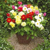 Image of Dahlia Plants - Delight Mix