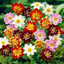 Dahlia Plant - Harlequin