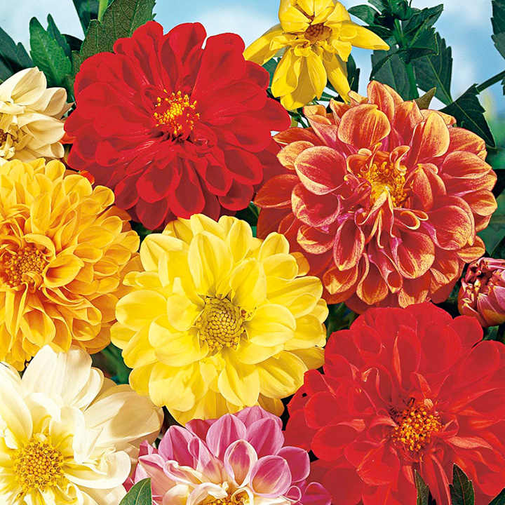 Dahlia Seeds - Early Bird Mixed