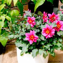 Dahlia Plant - Dreamy Kiss