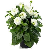 Dahlia Plant - LaBella Maggiore White