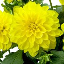 Dahlia Plant - LaBella® Maggiore Yellow