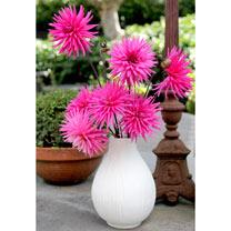 Dahlia Plants - Pink Star