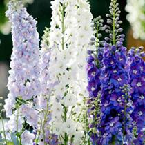 Perennial Plants - LUCKY DIP