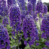 Delphinium Plant - Magic Fountains Dark Blue