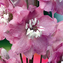 Delphinium Plants - Magic Fountain Deep Rose White Bee