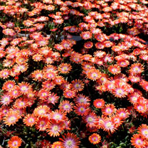 Delosperma Plants - Jewel of Desert Sunstone