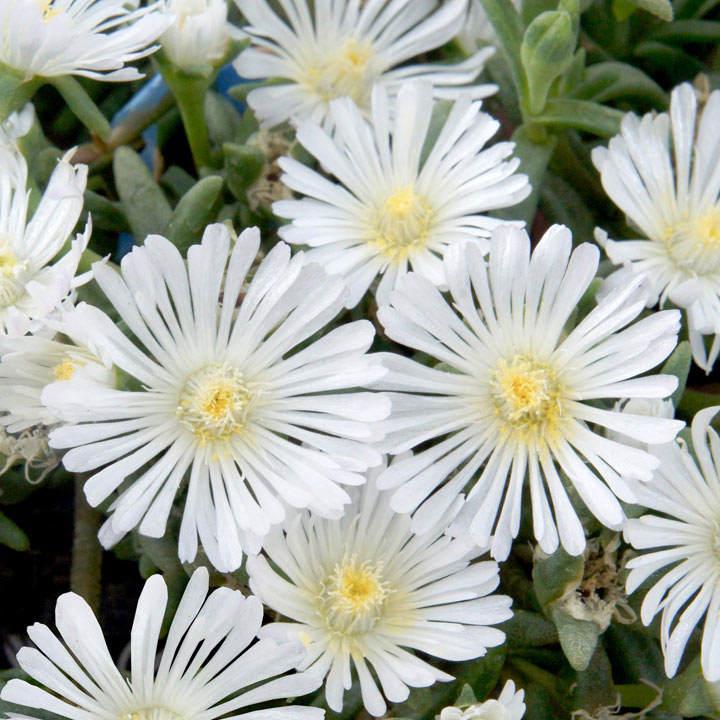 Delosperma Plant - Wheels of Wonder White Wonder