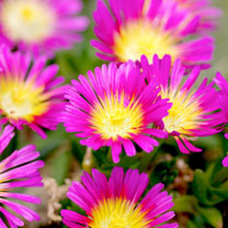 Delosperma Plants - Jewel of Desert Ruby
